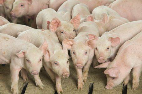 Care sunt cele mai cunoscute rase de porci pe care le cresc fermierii astazi?
