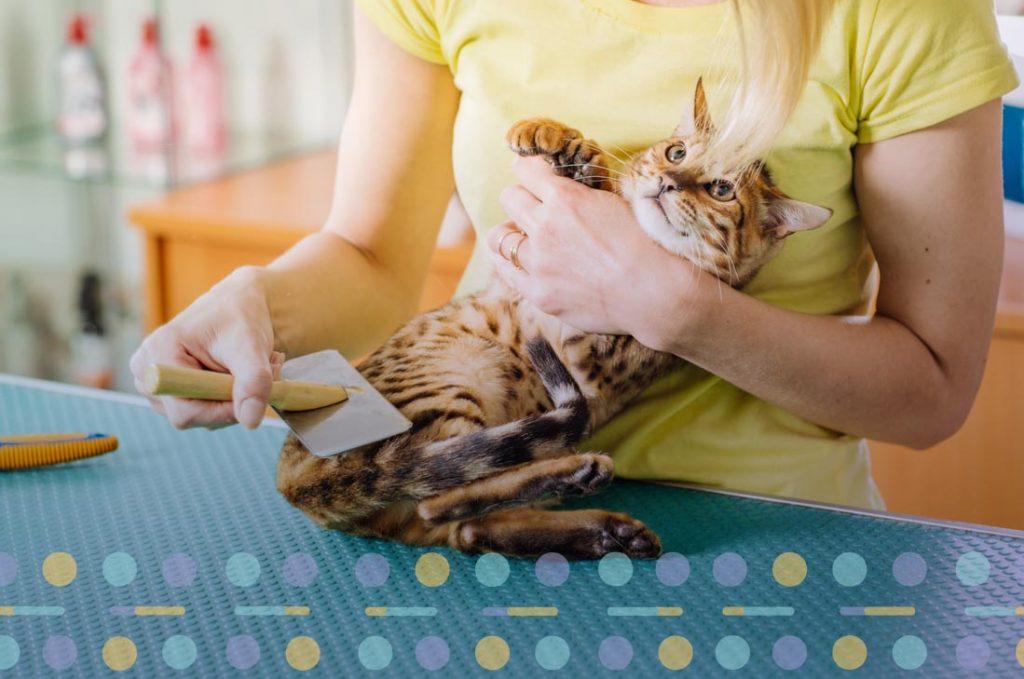 Dacă blana este prea încâlcită, iar periile nu fac față, atunci vei fi nevoit(ă) să duci pisica la o frizerie.